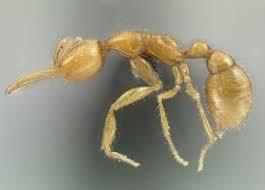Semut dari Mars