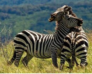zebra2bliar